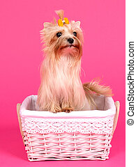 Yorkshire terrier in a pink basket - Yorkshire terrier with...