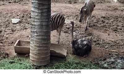 Ostrich Bird with Zebra