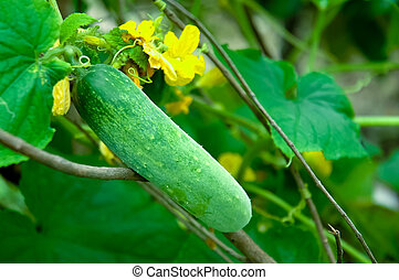 Cucumber on the tree