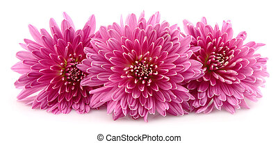 Chrysanthemums flowers on a white background