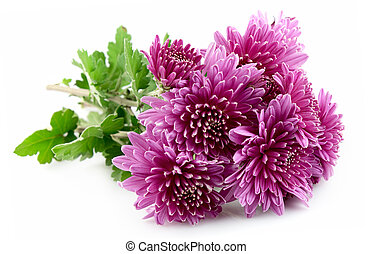 Beautiful chrysanthemum flower isolated on white
