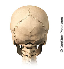 Human skull, back view. - Very detailed and scientifically...