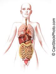 mujer, cuerpo, interior, Órganos, anatomía,...
