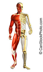 Anatomy illustration of man with half skeleton and half...