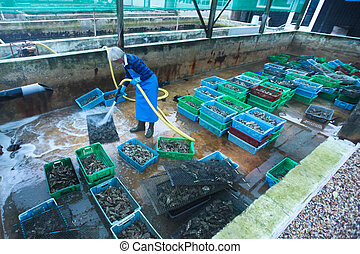 Oyster farmer - LHERBE - DECEMBER 20: Oyster farmer cleaning...