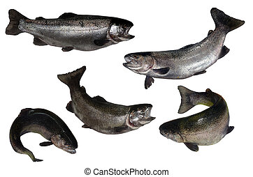 salmon fish isolated on white background