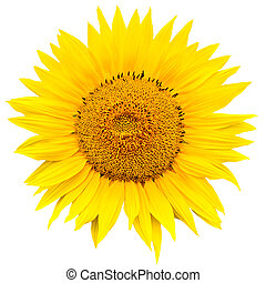 sunflower close up isolated on white background