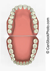 Dental Chart - 3D render of teeth, anatomically accurate.