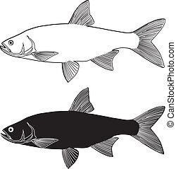 Asp predatory freshwater fish - vector illustration black...
