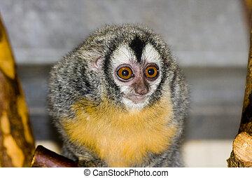 Southern owl monkey or Azara's night monkey (Aotus azarae)