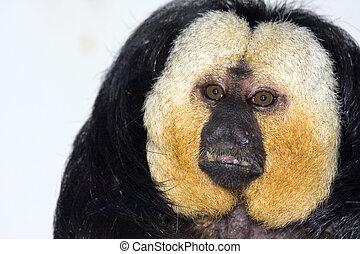 White-faced saki male - White-faced saki (Pithecia pithecia)...