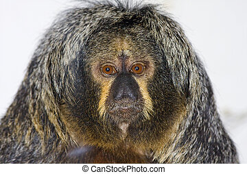 White-faced saki female - White-faced saki (Pithecia...