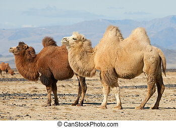 Bactrian camel in the steppes of Mongolia. True to transport...