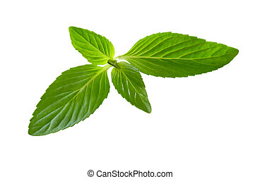 Spearmint mint leaf isolated on white background