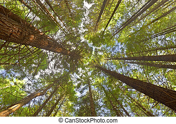 View on the Canopy in Whakarewarewa Forest, New Zealand.