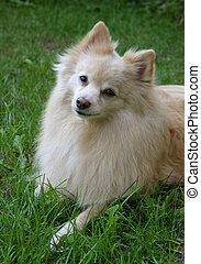 Cute Pomeranian Dog - Portrait of a Pomeranian dog, resting...
