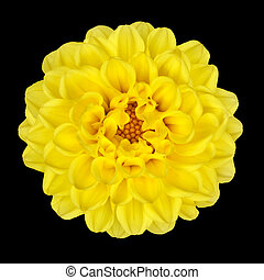 Dahlia Flower - Yellow Petals with Yellow Center Isolated