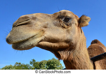 Wildlfe Photos - Camel - A portrait of a camel with blue sky...