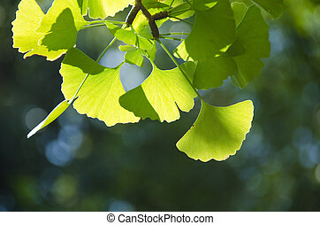 Ginko leaves - Leaves of Ginkgo biloba on the tree in...