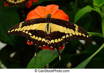 Giant Orange Swallowtail or Citrus Swallowtail