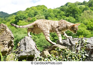 cat jumping on fence - tabby cat on stones fence at Asturias...