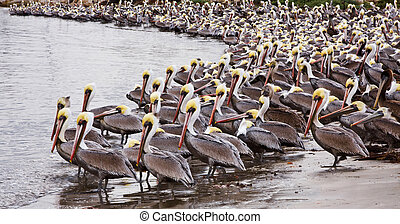 Brown Pelicans - A large group of brown pelicans in Santa...