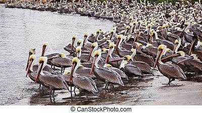 Brown Pelicans - A large group of brown pelicans in Santa...