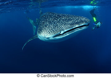 Whaleshark and snorkeller - Whale shark with snorkeller in...