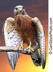 Kestrel Bird of Prey - Rock kestrel bird of prey perched on...
