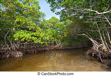 Dense Red Mangroves in South Florida