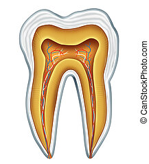 Tooth medical anatomy - Tooth anatomy cross section for...