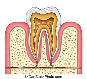 Anatomy of a healthy human tooth diagram as a dentist...