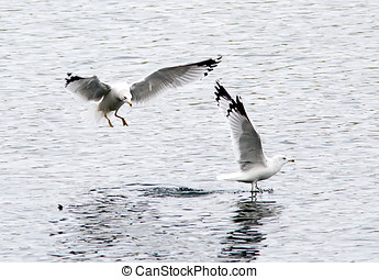 Two ring billed gulls. - One ring billed gull flies in and...