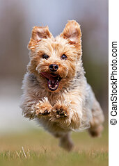 Yorkshire terrier - A happy Yorkshire terrier running at the...