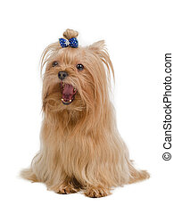 Golden Yorkshire Terrier - Golden Yorkshire terrier isolated...