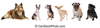 Group of small dogs - Banner like image of small dog breeds...