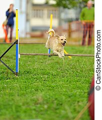 Dog Agility in Testing - Agility dog competition jumping a...