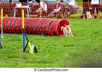 Dog Agility in Testing - Agility dog competition in a tunnel...
