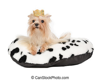 Yorkshire Terrier with golden crown