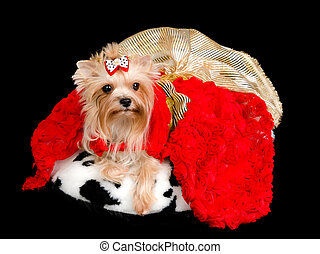 Yorkshire Terrier with gorgeous dress