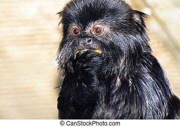 Goeldis marmoset or Goeldis monkey Callimico goeldii