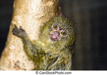 Pygmy marmoset baby - Pygmy marmoset Callithrix pygmaea or...
