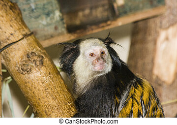 White-headed marmoset - Southern owl monkey or Azara's night...