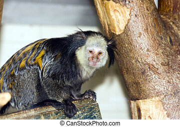 White-headed marmoset - Southern owl monkey or Azaras night...