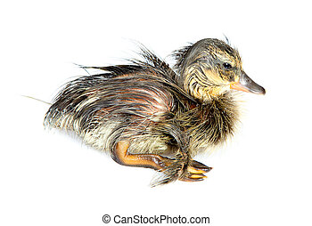 Wet hatchling - Wet little newly hatched duckling on a white...