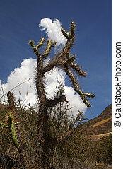 Cactus in Peru