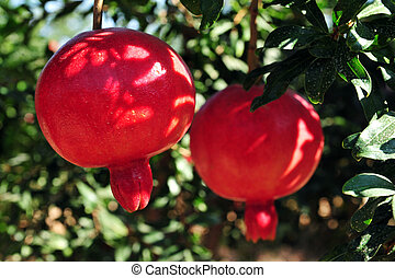 Pomegranate Orchard - Jewish New Ye - Pomegranate orchard in...