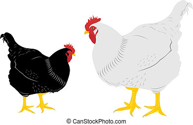 Two hens. A white hen. A black hen.