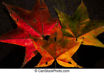 Red maple leaves, golden autumn - Red maple leaves, golden...