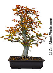 Bonsai Cottonwood - Autumn cottonwood bonsai tree isolated...